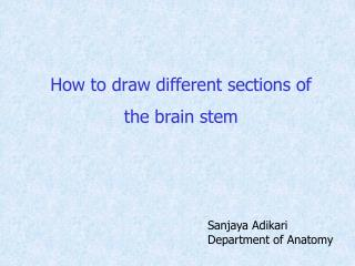 How to draw different sections of the brain stem