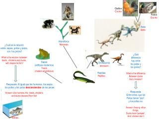 Sapos   (anfibios modernos) Toads (modern amphibious)