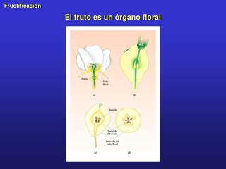 El fruto es un órgano floral