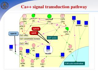 Ca ++  signal transduction pathway
