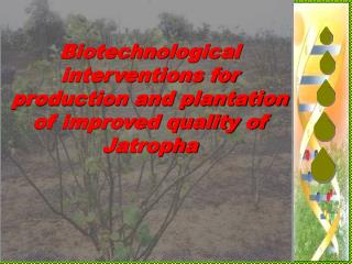 Biotechnological interventions for production and plantation of improved quality of  Jatropha