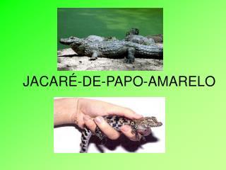 JACARÉ-DE-PAPO-AMARELO