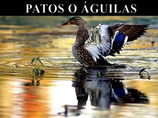 PATOS O ÁGUILAS