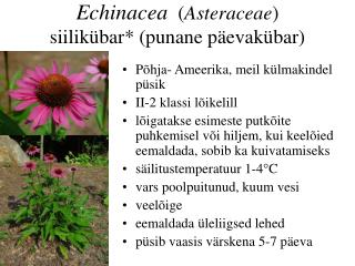 Echinacea ( Asteraceae )  siilikübar *  (punane päevakübar)