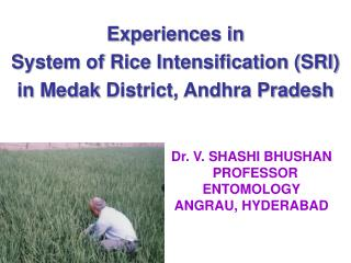 Experiences in System  of Rice Intensification (SRI ) i n  Medak  District, Andhra Pradesh