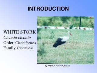 WHITE STORK Ciconia ciconia Order: Ciconiformes Family :  Ciconiidae