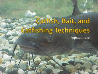 Catfish, Bait, and  Catfishing  Techniques