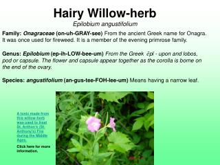 Hairy Willow-herb Epilobium angustifolium