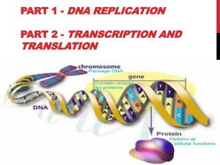 Part 1 -  DNA Replication  Part 2 -  Transcription and Translation