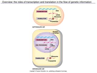 Overview: the roles of transcription and translation in the flow of genetic information