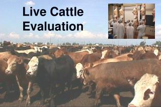 Live Cattle Evaluation