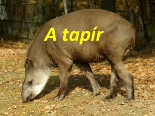 A tapír