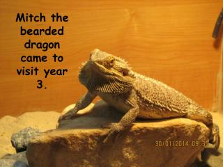 Mitch the bearded dragon came to visit year 3.