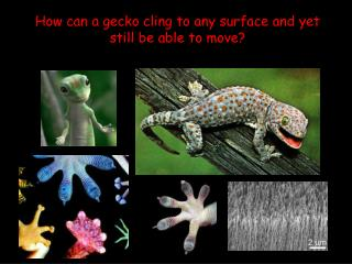 How can a gecko cling to any surface and yet still be able to move?