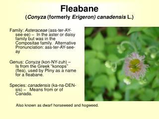 Fleabane ( Conyza  (formerly  Erigeron) canadensis  L.)