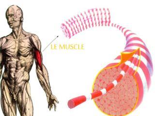 LE MUSCLE