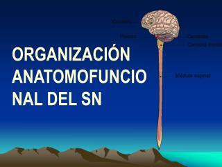 ORGANIZACIÓN ANATOMOFUNCIONAL DEL SN