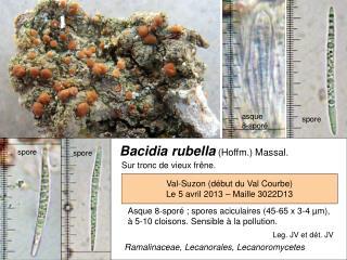 Bacidia rubella (Hoffm.) Massal.