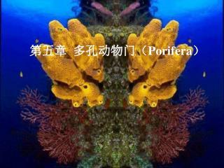 第五章  多孔动物门( Porifera )