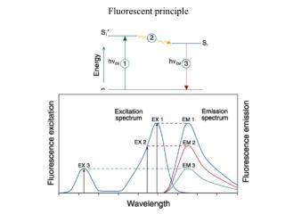 Fluorescent principle