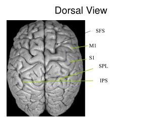 Dorsal View