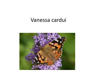 Vanessa cardui