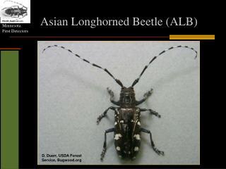 Asian  L onghorned  Beetle (ALB)