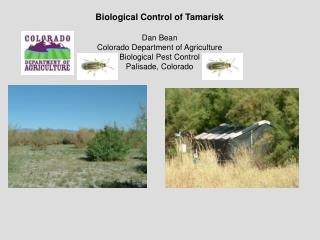Biological Control of Tamarisk Dan Bean Colorado Department of Agriculture Biological Pest Control