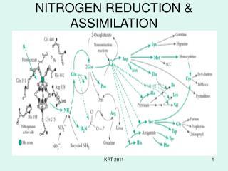 NITROGEN REDUCTION & ASSIMILATION