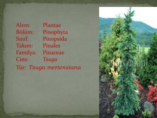 Alem:Plantae Bölüm:Pinophyta Sınıf:Pinopsida Takım:Pinales Familya:Pinaceae Cins: Tsuga