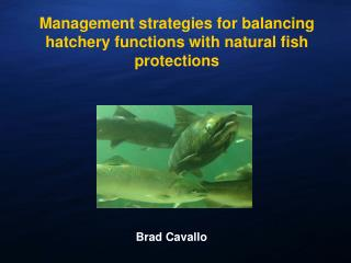 Management strategies for balancing hatchery functions with natural fish protections