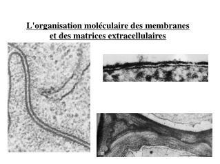 L'organisation moléculaire des membranes et des matrices extracellulaires