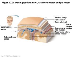 Figure 12.24  Meninges: dura mater, arachnoid mater, and pia mater.
