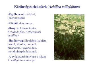 Közönséges cickafark ( Achillea millefolium )