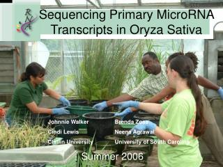 Sequencing Primary MicroRNA Transcripts in Oryza Sativa