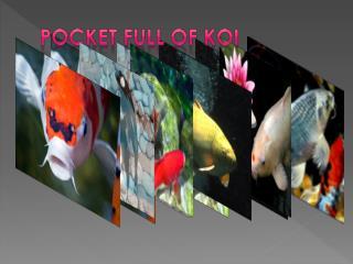 Pocket Full Of Koi