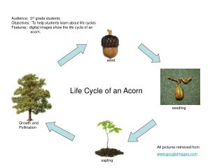 Life Cycle of an Acorn