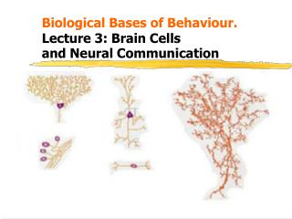 Biological Bases of Behaviour. 			 Lecture 3: Brain Cells 	and Neural Communication