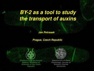 BY-2 as a tool to study the transport of auxins