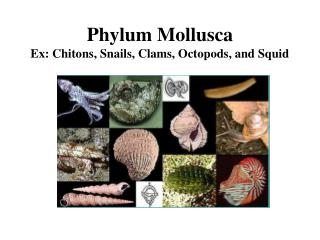 Phylum Mollusca Ex: Chitons, Snails, Clams, Octopods, and Squid