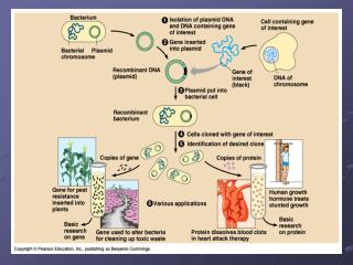 Problems Not all bacteria pick up plasmid-how do we distinguish? Remember ampR gene?