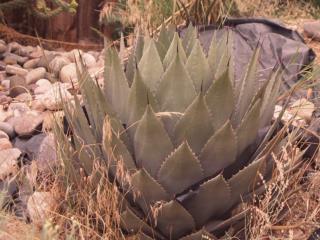 Desert Agave Agave deserti