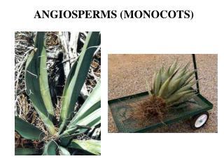 ANGIOSPERMS (MONOCOTS)