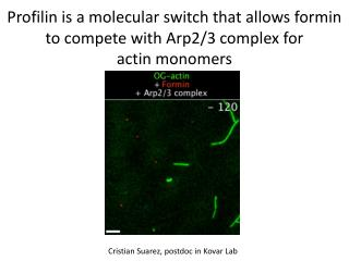 Profilin  is a molecular switch that allows  formin  to compete with Arp2/3 complex for