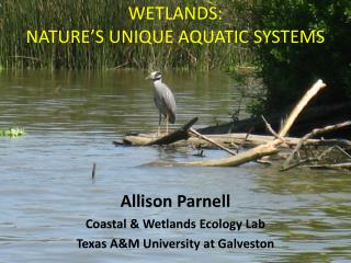 Wetlands:   nature's unique aquatic systems