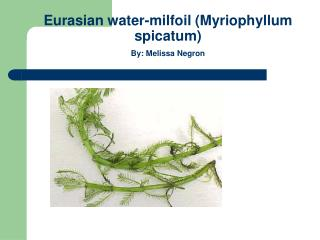 Eurasian water-milfoil (Myriophyllum spicatum) By: Melissa Negron