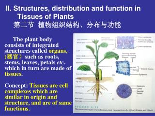 Structures, distribution and function in       Tissues of Plants 第二节  植物组织结构、分布与功能