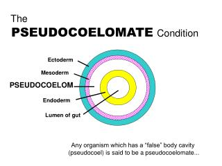The  PSEUDOCOELOMATE Condition