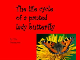 The life cycle of a panted lady  butterfly