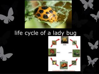 life cycle of a lady bug